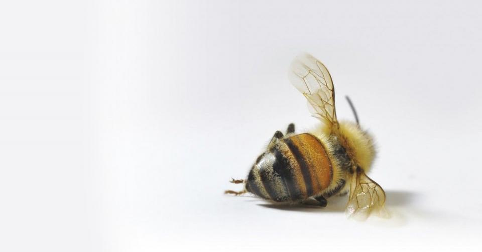 Cell phone radiation killing the bees, study confirms